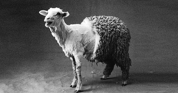 стриженая овца